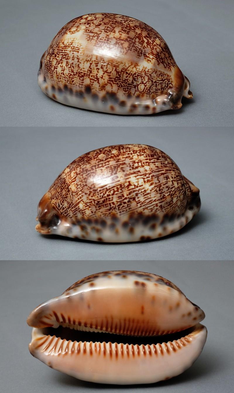 Mauritia arabica immanis Arabic10