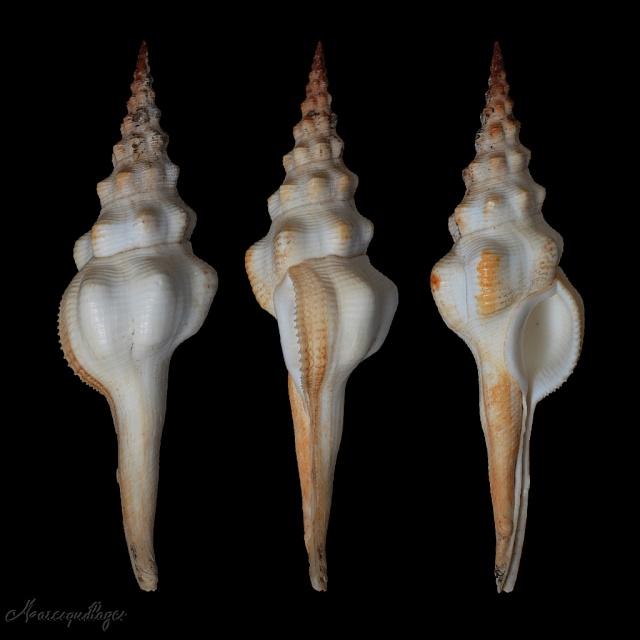 Fusinus undatus - (Gmelin, 1791) Fusinu10