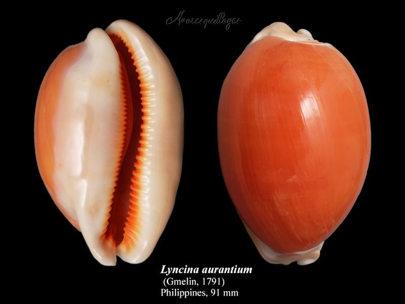 Callistocypraea aurantium - (Gmelin, 1791) - Page 2 Lyncin10