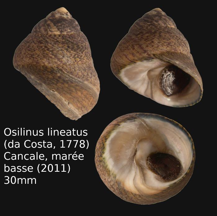 Phorcus lineatus - (da Costa, 1778) Osilin10