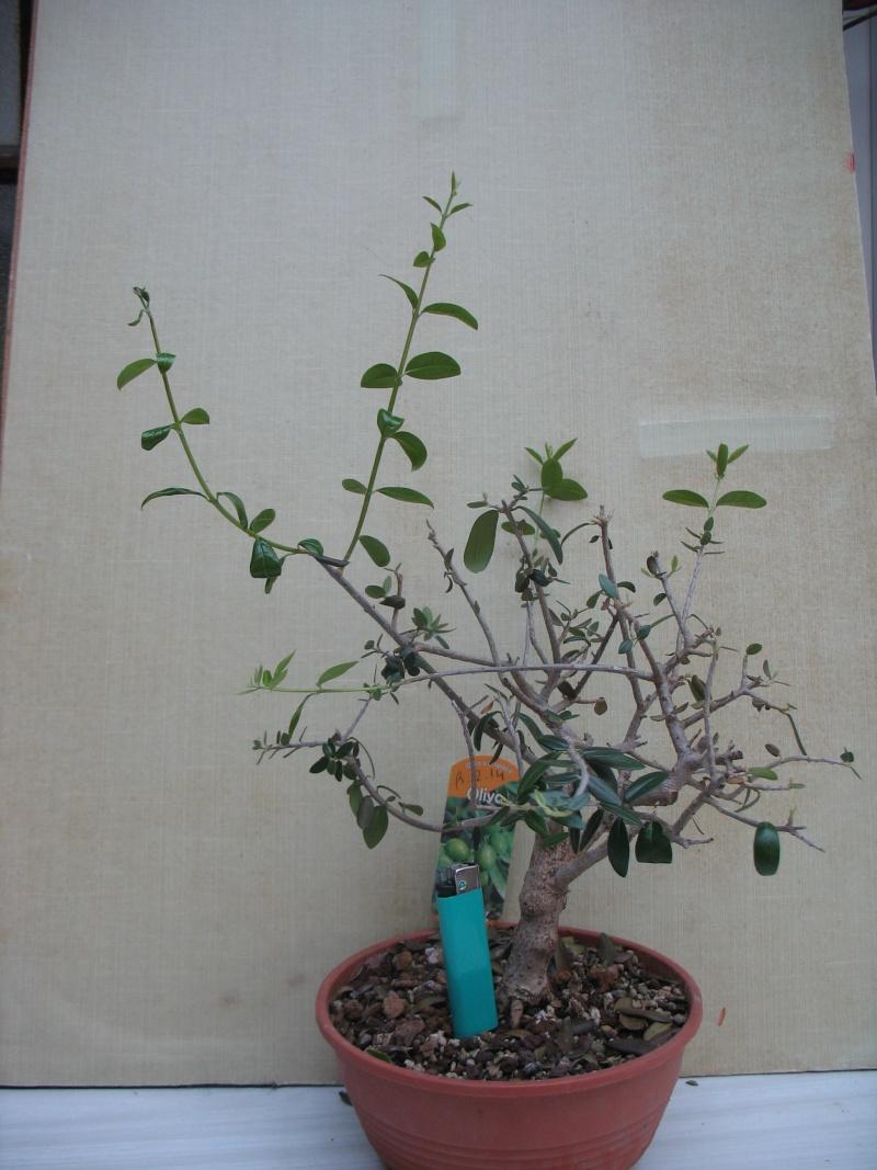 olivier de pepiniere - Page 2 Olivie10
