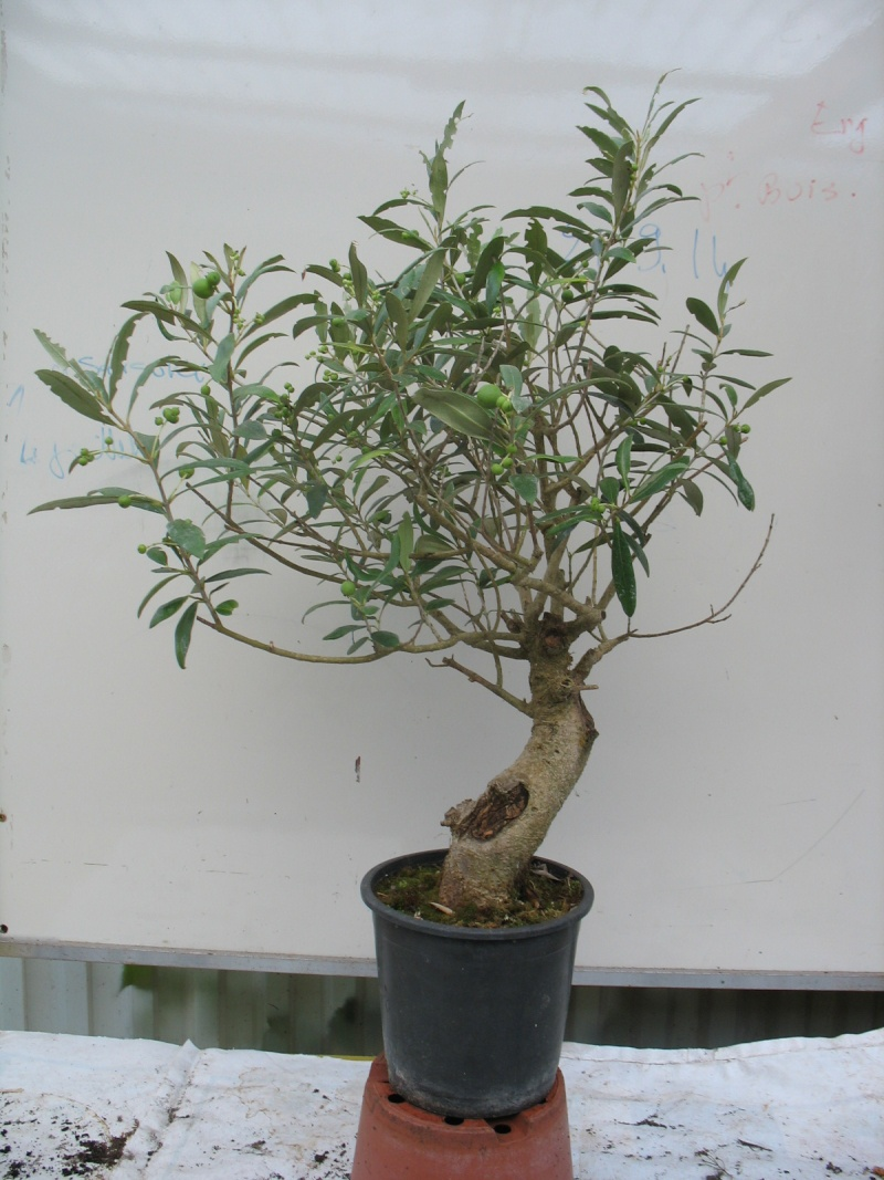les oliviers de Marie Olivie12