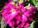 Primula vulgaris - primevère commune, primevère acaule Primev11