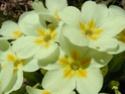 Primula vulgaris - primevère commune, primevère acaule Primev12