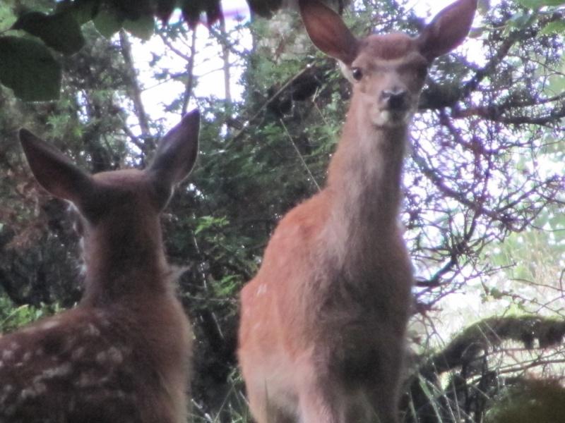 mes modestes photos animalières Cerf_f14