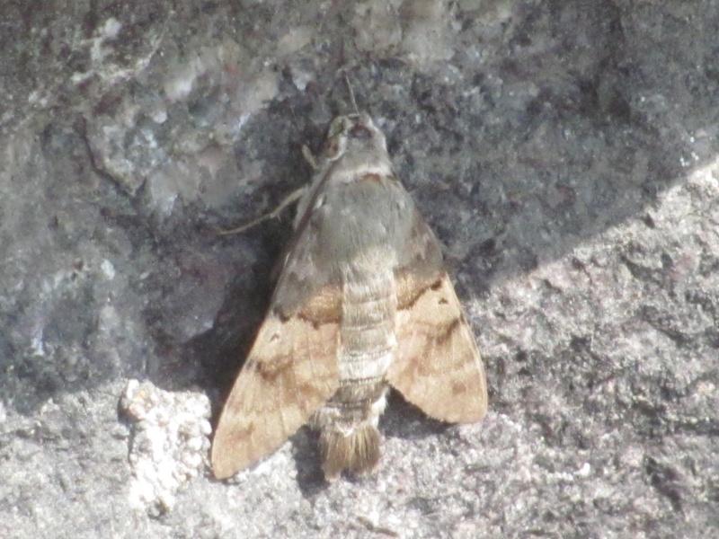 mes modestes photos animalières Sphinx11