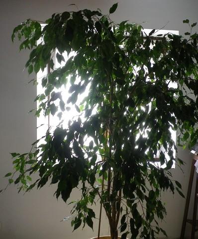 Ficus benjamina !!! 19082010