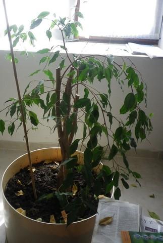 Ficus benjamina !!! 19082011