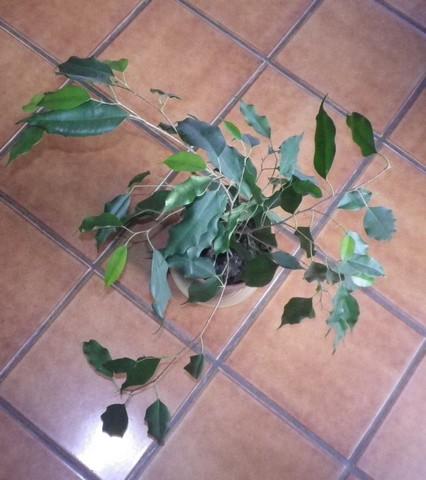 Ficus benjamina !!! 19092011