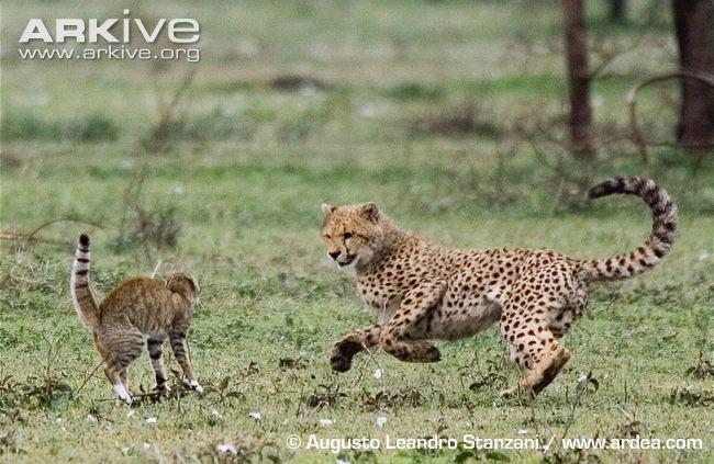 Gato Selvagem VS Marta Pescadora Africa10