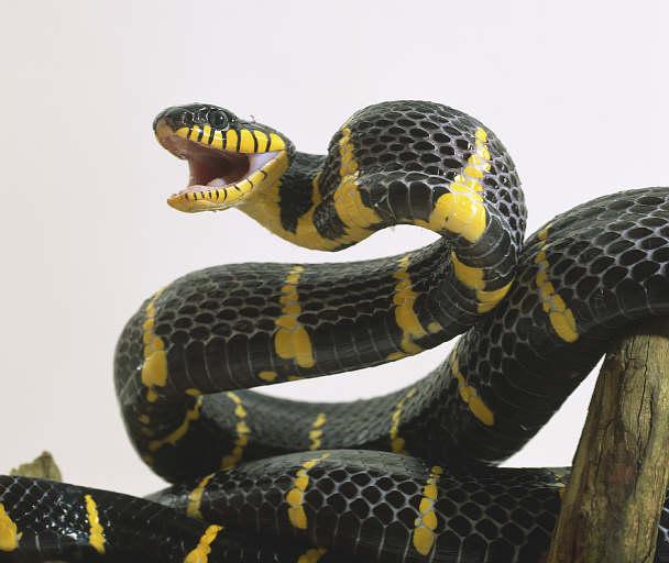 Cobra Mangrove VS Quoll do Norte Boiga10