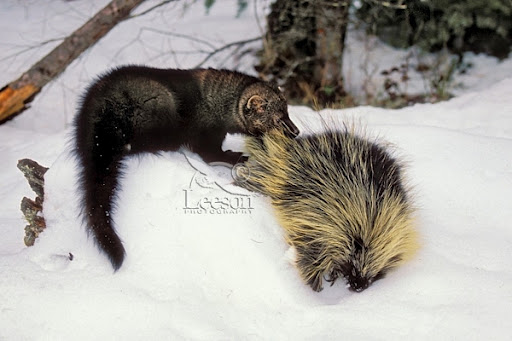 Gato Selvagem VS Marta Pescadora Fisher11