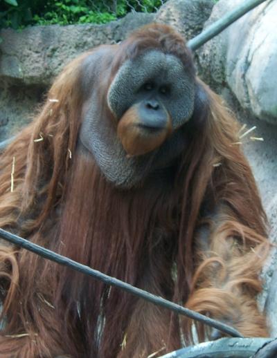 Orangotango de Bornéu VS Babirusa Orangu10