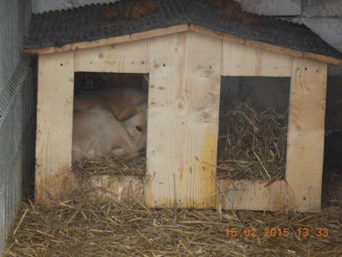 BOX (trois) , croisé labrador, né en 2007 -  Parrainée par Samie -R-F-SOS-SC- - Page 2 Box_ni10
