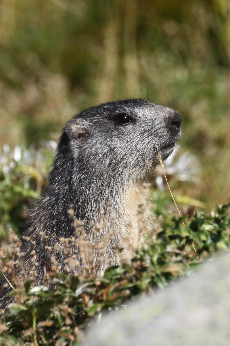 Marmotte - Alpe Succiso Mar10