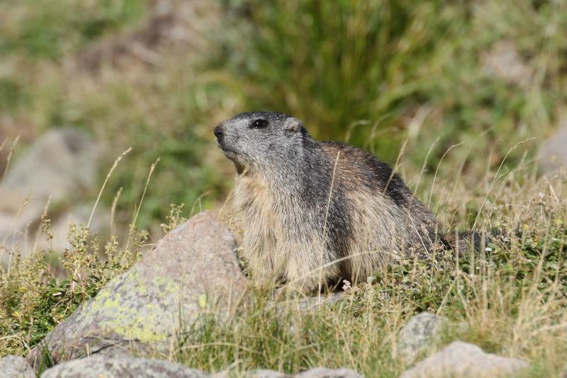 Marmotte - Alpe Succiso Marmoo10