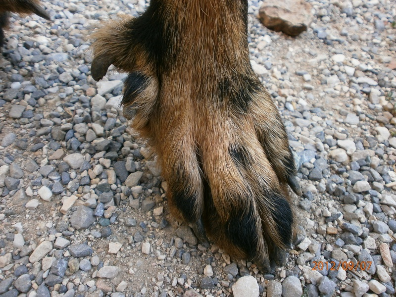 les ergots des chiens Ergos_11