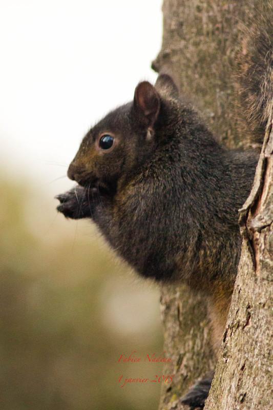 Écureuil noir Img_4210