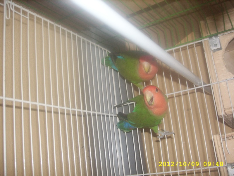 Lutino + Vert sauvage Spa53112