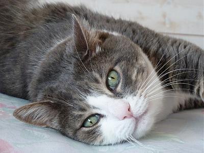Câline, femelle tigrée grise et blanche, 15 ans 84290810