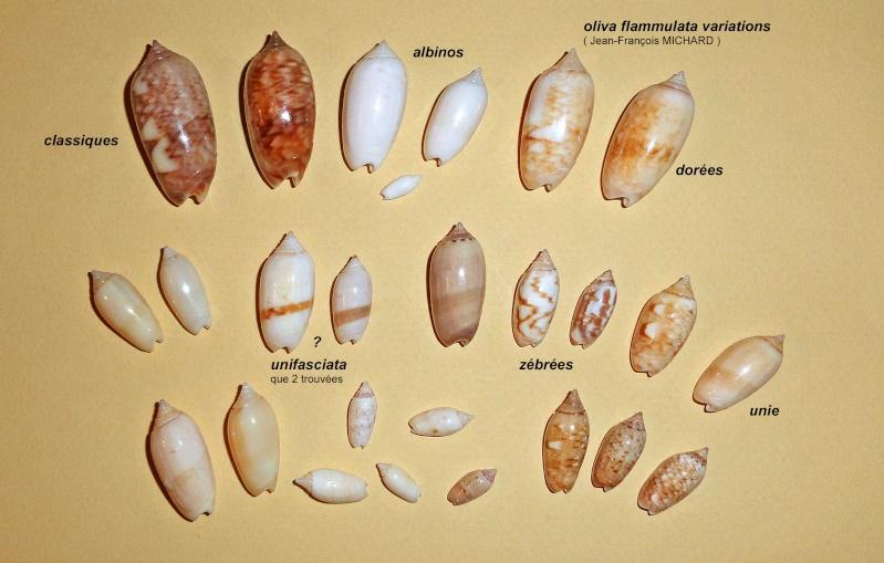 Americoliva flammulata f. isabellina (Dautzenberg, 1910)  - Worms = Oliva flammulata Lamarck, 1811 - Page 2 Oliva_10