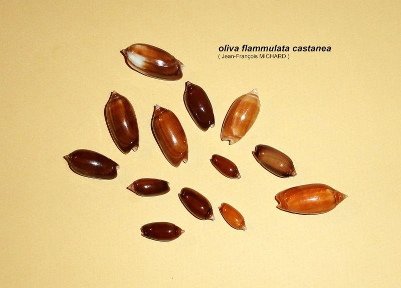 Americoliva flammulata f. isabellina (Dautzenberg, 1910)  - Worms = Oliva flammulata Lamarck, 1811 - Page 2 Oliva_12