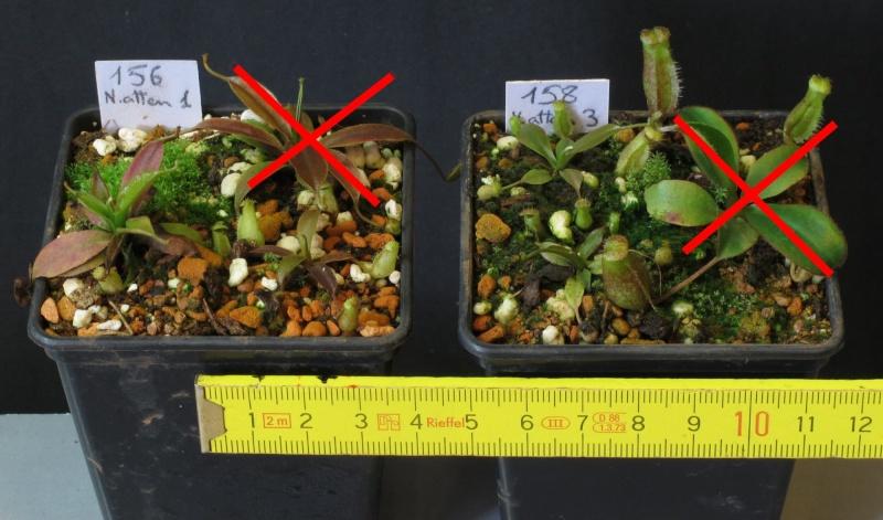 Nepenthes et Heliamphora (issues de graines à une exception près) A VENDRE N_atte10