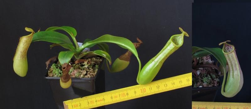 Nepenthes et Heliamphora (issues de graines à une exception près) A VENDRE N_cope10
