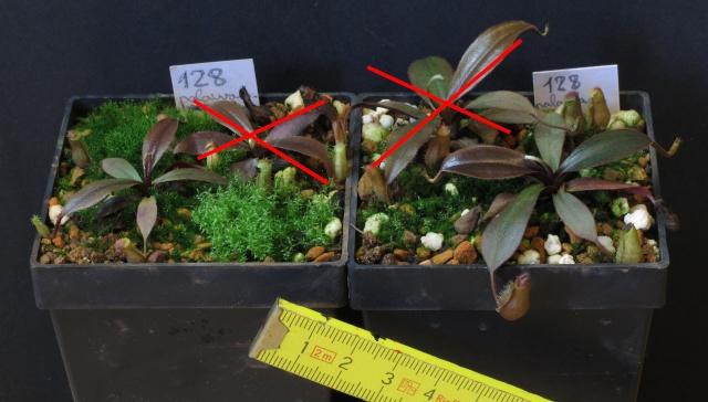 Nepenthes et Heliamphora (issues de graines à une exception près) A VENDRE N_pala10