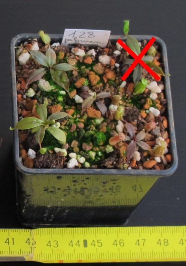 Nepenthes et Heliamphora (issues de graines à une exception près) A VENDRE Palawa10