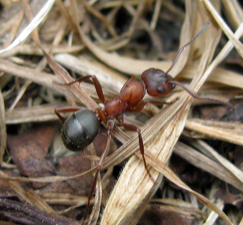 Formica (Raptiformica) sanguinea 002_n13