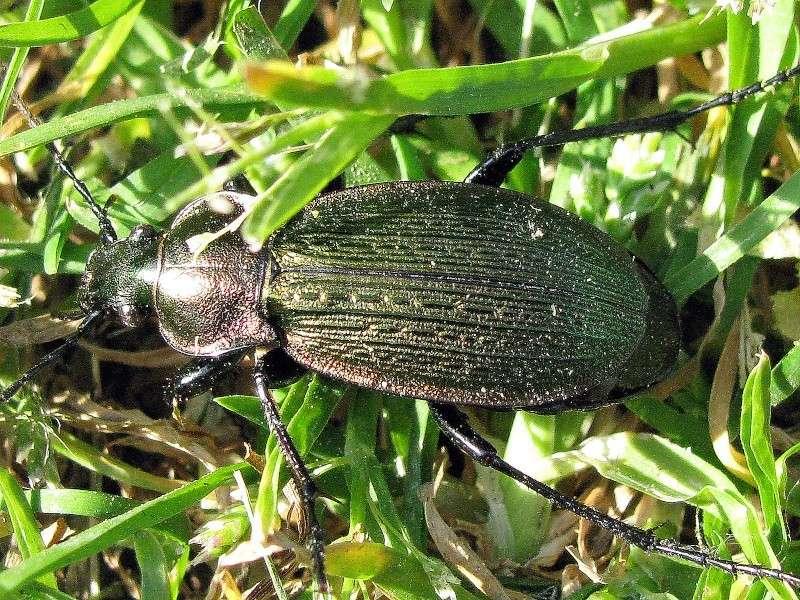 Morphocarabus monilis interpositus GÉHIN 1880 Morpho10