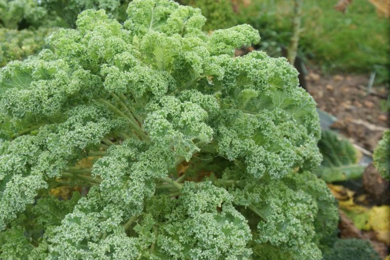 Kale, le chou qui a rendu fous les Américains. Dsc02610