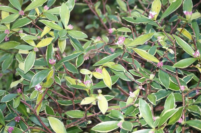 Daphne odora Dsc03011