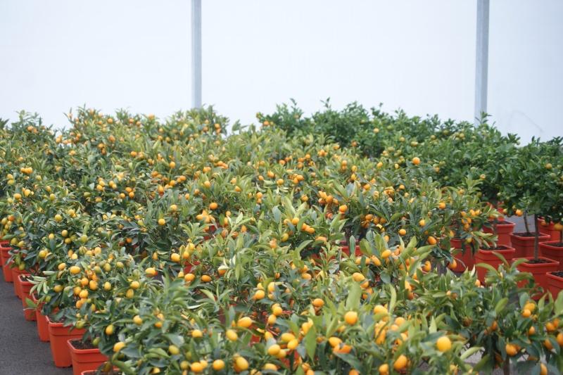 Conseils pour un kumquat Dsc03212
