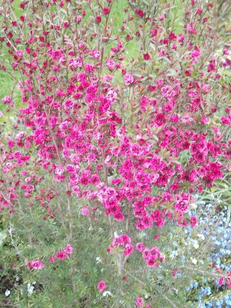 Leptospermum Parc_d10