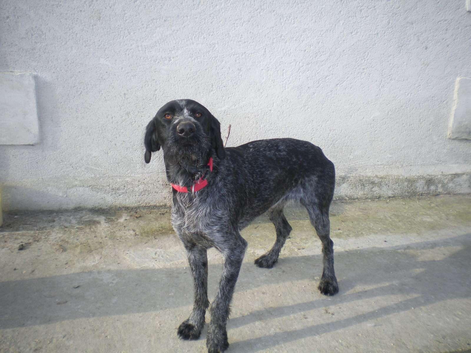Ficelle, Drahthaar noir/blanc perdue en 2012, toujours recherchée (36) Ficell11