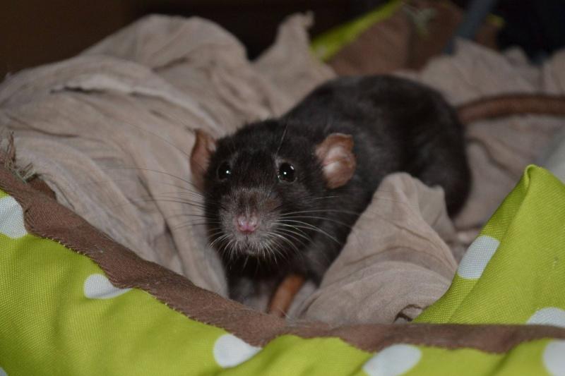 4 ratounes d'amour à adopter Hina10