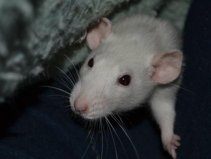 4 ratounes d'amour à adopter Nami410