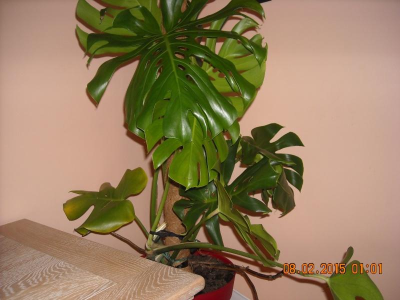 Philodendron Monstera  Dscn0010