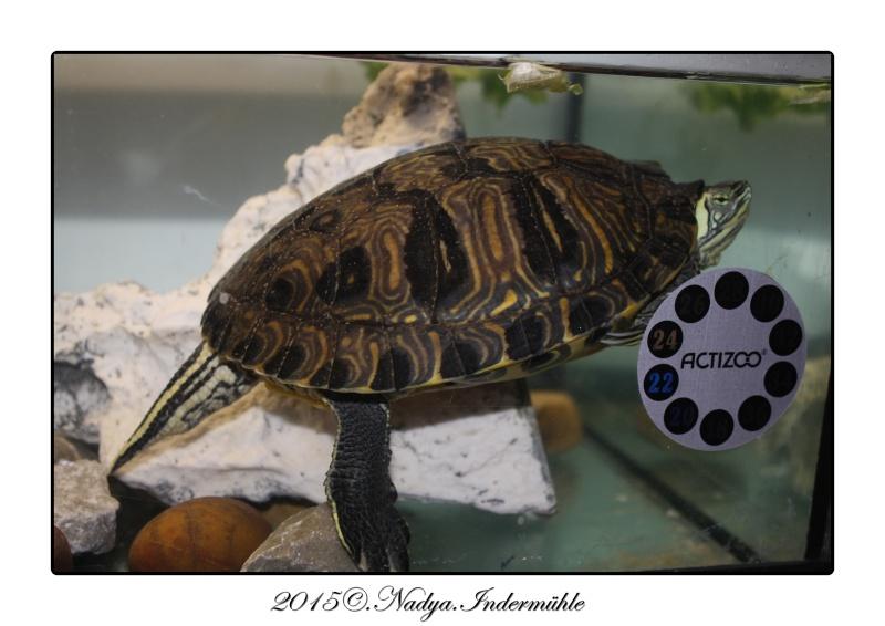 Les tortues. Cadrer14