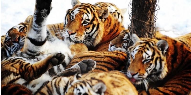Une famille au complet de tigres de Sibérie.  Tigres10