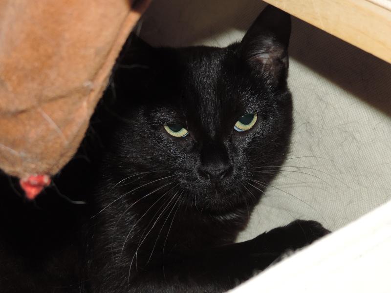 joliecat - JOLIECAT, femelle type européen noire, née le 20/07/2014 0110