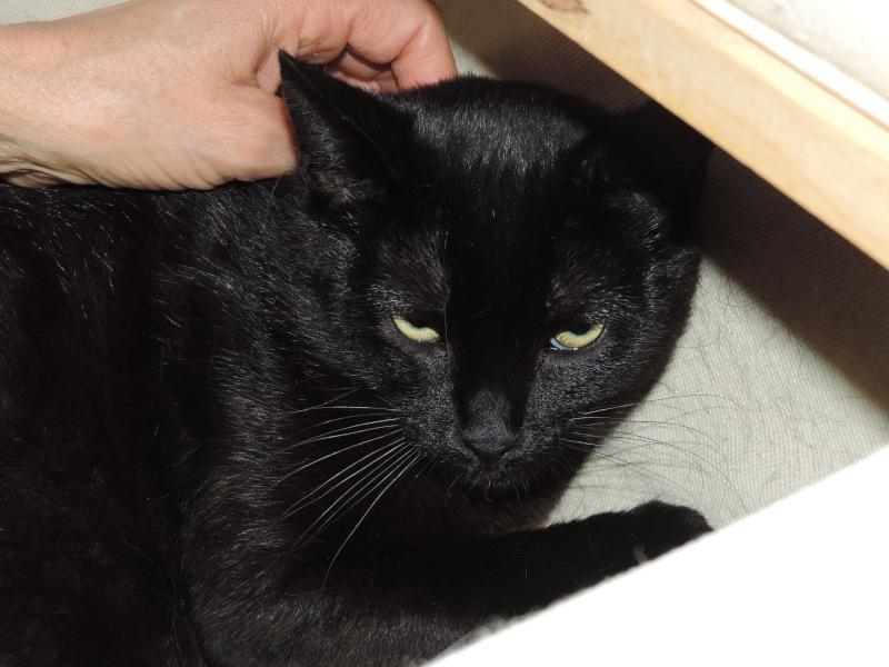 joliecat - JOLIECAT, femelle type européen noire, née le 20/07/2014 0210