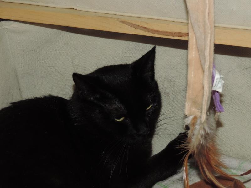 joliecat - JOLIECAT, femelle type européen noire, née le 20/07/2014 0510