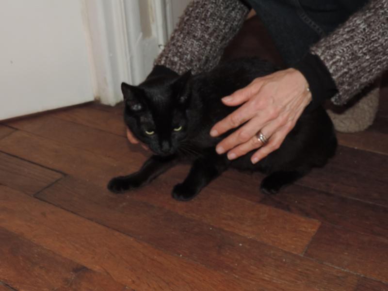 joliecat - JOLIECAT, femelle type européen noire, née le 20/07/2014 0710