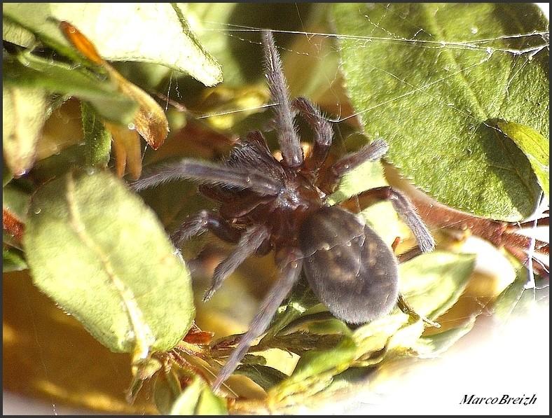 Féroce (Amaurobius ferox) Imgp5710