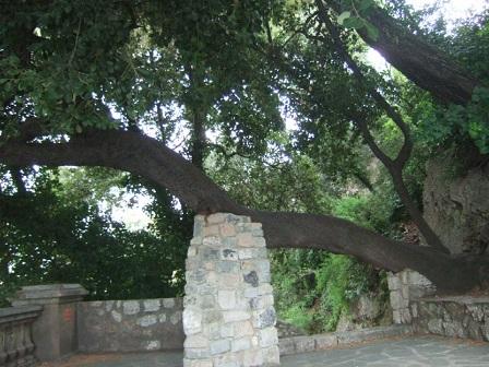Quercus ilex - chêne vert - Page 2 Dscf0110