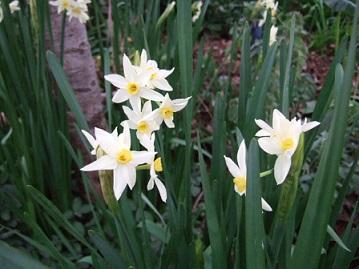 Narcissus tazetta et hybrides horticoles Dscf2210