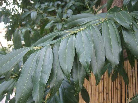 Cocculus laurifolius Dscf4718